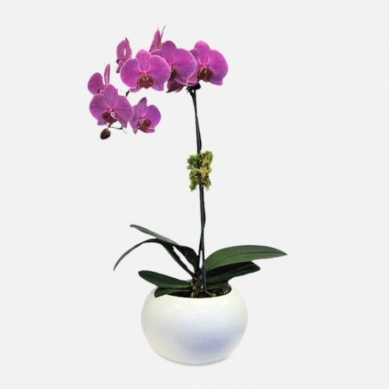 Purple 1-Stem Phalaenopsis (Ceramic) Indoor Blooming Plants