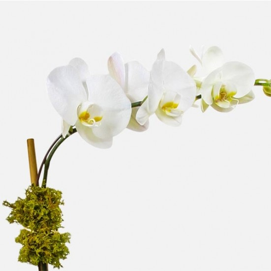 Classic 1-stem Phalaenopsis (ceramic) Get Well