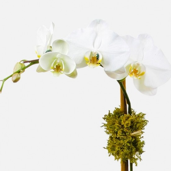 Classic 2-Stem Phalaenopsis (ceramic) Especially for Him