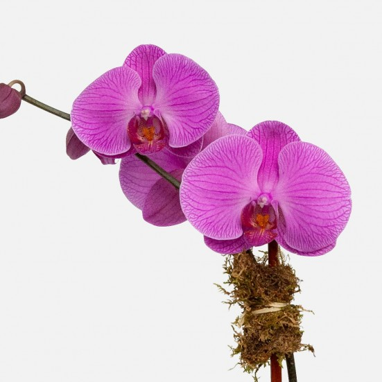 1-Stem Purple Phalaenopsis (glass) Congratulations