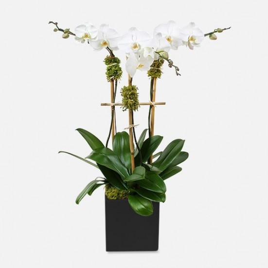 Classic 3-Stem Phalaenopsis (ceramic) Thanksgiving