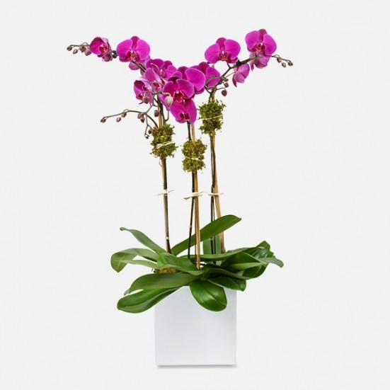 3-Stem Purple Phalaenopsis (Ceramic) Indoor Blooming Plants