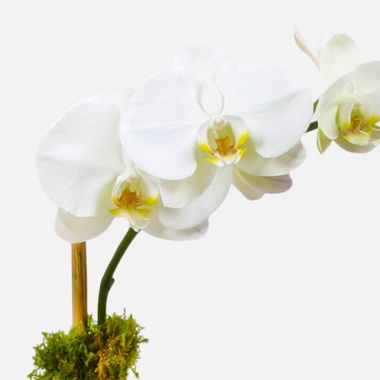 Classic 1-Stem Phalaenopsis (glass) Get Well