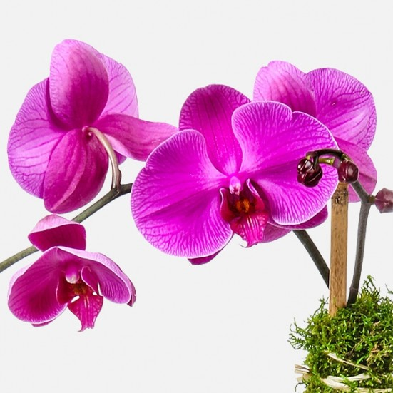 Purple Phalaenopsis & Succulent (glass) Plants
