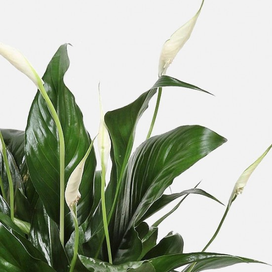Manhattan Spathiphyllum Business Gifting