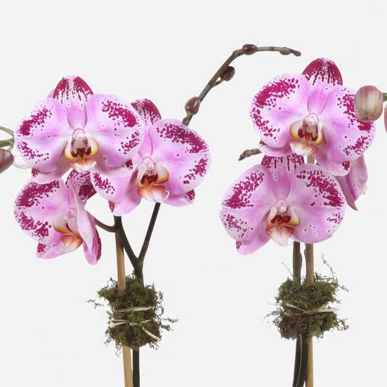 2-Stem Happy Dancer Phalaenopsis (glass) Congratulations