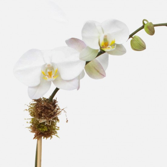 Ash 1-Stem Phalaenopsis Pet Friendly Plants