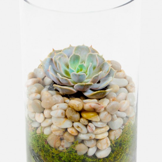 Echeveria in Tube Cacti & Succulents