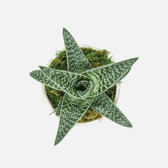 Haworthia in Large Croix Cup Business Gifting