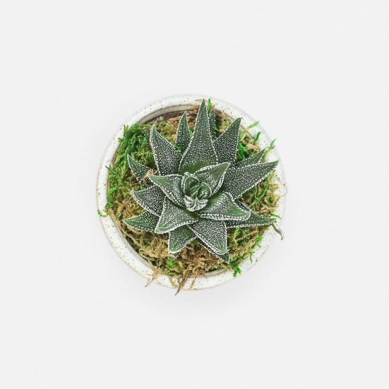 Haworthia in Mini Mateo Pot Business Gifting