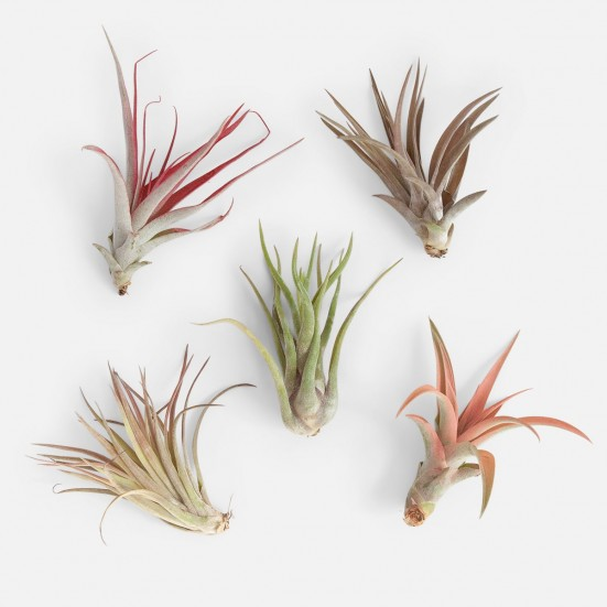 Air Plants Bundle - Piccolo Plants