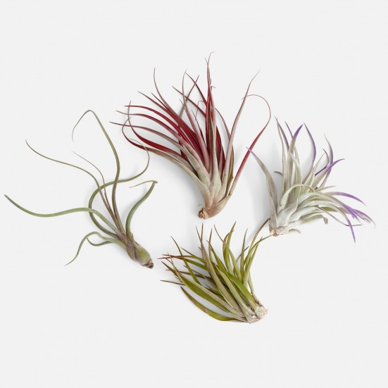 Air Plants Bundle - Medio Plants