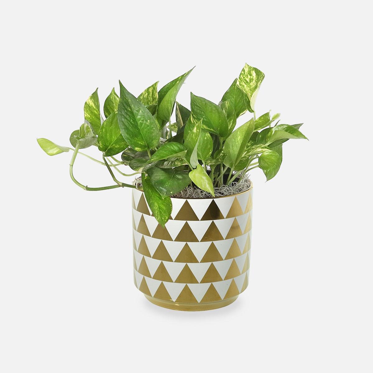 Golden Pothos in Spade Pot by Plantshed
