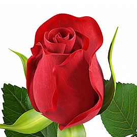Red Roses 16'' | Flower Plant Delivery NYC | Plantshed.com