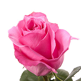Pink Roses 16'' | Flower Plant Delivery NYC | Plantshed.com