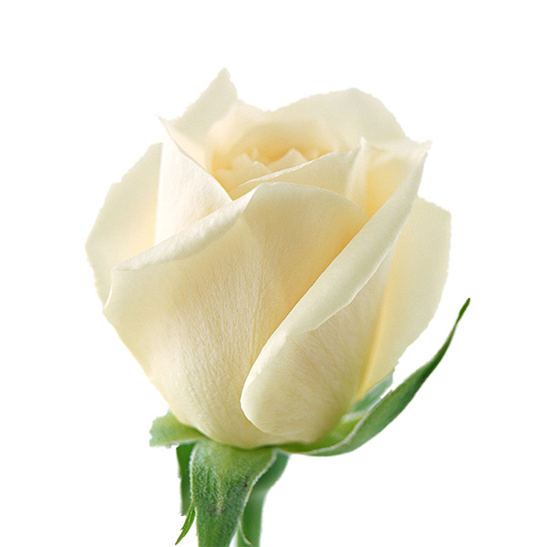 White Roses 20'' | Flower Plant Delivery NYC | Plantshed.com