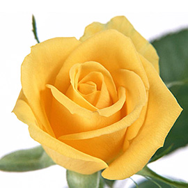 Yellow Roses 16'' | Flower Plant Delivery NYC | Plantshed.com