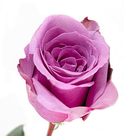 Purple Roses 16'' | Flower Plant Delivery NYC | Plantshed.com