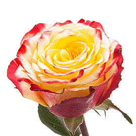 Bicolor Roses 16'' | Flower Plant Delivery NYC | Plantshed.com
