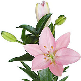 White Lily | Flower Plant Delivery NYC | Plantshed.com