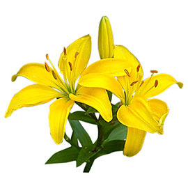 Orange Lily | Flower - Plant Delivery NYC | Plantshed.com