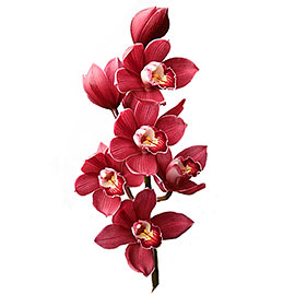 White Cymbidium Orchid | Flower - Plant Delivery NYC | Plantshed.com