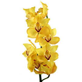 Pink Cymbidium Orchid | Flower - Plant Delivery NYC | Plantshed.com