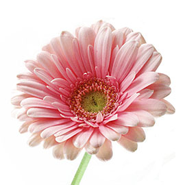 White Gerbera Daisy | Plant - Flower Delivery NYC Florist | Plantshed.com