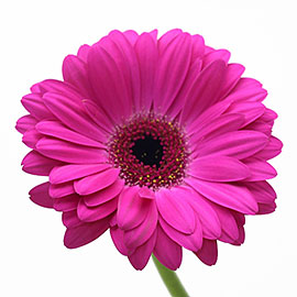 Pink Gerbera Daisy | Plant - Flower Delivery NYC Florist | Plantshed.com