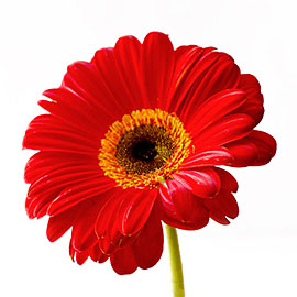 Hot Pink Gerbera Daisy | Plant - Flower Delivery NYC Florist | Plantshed.com