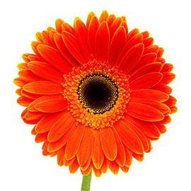 Yellow Gerbera Daisy | Plant - Flower Delivery NYC Florist | Plantshed.com