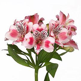 White Alstroemeria | Flower Delivery NYC Florist | Plantshed.com