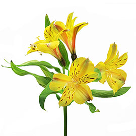Red Alstroemeria | Flower Delivery NYC Florist | Plantshed.com
