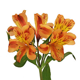 Yellow Alstroemeria | Flower Delivery NYC Florist | Plantshed.com