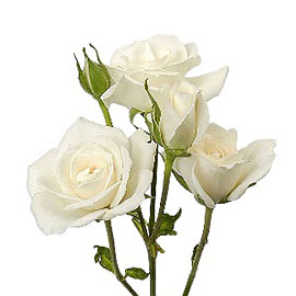 Bicolor Roses 20'' | Flower Plant Delivery NYC | Plantshed.com