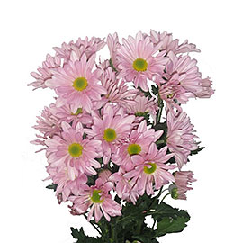 White Pom Pom Daisies | Flower Delivery NYC Florist | Plantshed.com