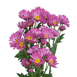 Pink Pom Pom Daisies | Flower Delivery NYC Florist | Plantshed.com