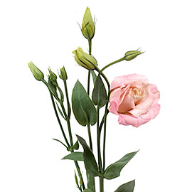 White Lisianthus | Flower Delivery NYC Florist | Plantshed.com