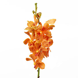 Red Mokara Orchid | Flower - Plant Delivery NYC | Plantshed.com