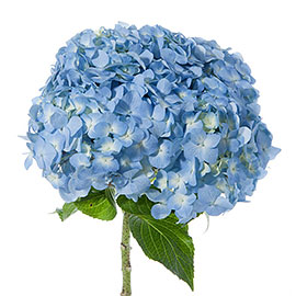Green Hydrangea | Flower - Plant Delivery NYC | Plantshed.com