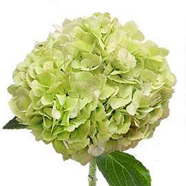 Pink Hydrangea | Flower - Plant Delivery NYC | Plantshed.com
